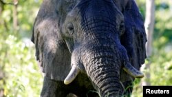 FILE - A male African elephant mock-charges in the Okavango Delta in Botswana, March 25, 2005.
