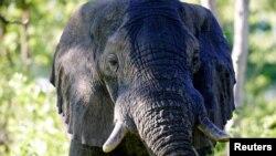 Un éléphant africain mâle dans le Delta du Okavango au Botswana, le 25 mars 2006