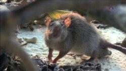 CIENCIA/SALUD: Ratas nocivas para arrecifes de coral