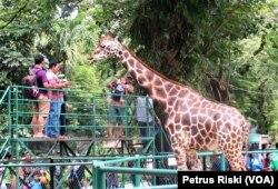 Pengunjung memberi pakan jerapah di Kebun Binatang Surabaya. Jerapah adalah salah satu satwa yang akan dicarikan pasangan untuk pengembangbiakan, 24 Mei 2019. (Foto: Petrus Riski/VOA)