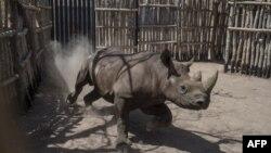 Un rhinocéros noir court dans un enclos dans le parc national de Zakouma, le 4 mai 2018.