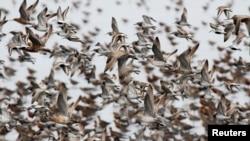 지난 2011년 5월 압록강 위로 철새인 도요새 때가 날고 있다. (자료사진)