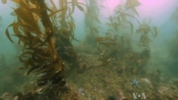 Scientists Work to Save Disappearing Kelp Forests