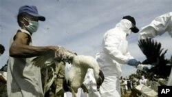 卫生人员在雅加达郊区一个有人死于禽流感的村庄捕捉家禽(资料照片)