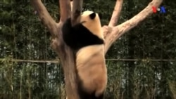 Panda ağdır yoxsa qara?