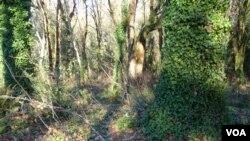 Ivy phủ bao phủ cây cối và lan tràn trên mặc đất trong công viên Priest Point Park