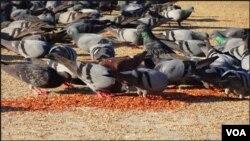 بڑی تعداد میں کبوتر دانہ چگ رہے ہیں