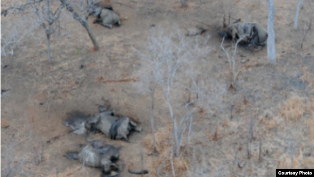 Elephant poaching in the Niassa Reserve, Mozambique. (Wildlife Conservation Society photo)