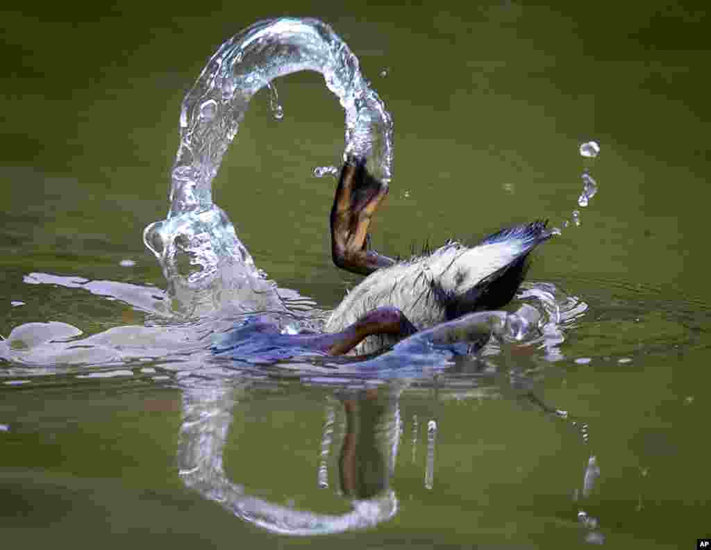 A duckling dives in a small pond in the outskirts of Frankfurt, Germany.