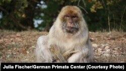 Une femelle du singe magot, une espèce aussi appelée le macaque de Barbarie, le seul macaque vivant sur le continent africain