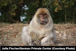 An old, female Barbary macaque gazing wisely into your soul.