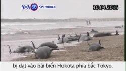 Hơn 100 cá voi dạt vào bãi biển Nhật (VOA60)