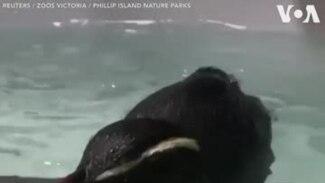 Ծովը հատած պինգվինի անհավանական արկածները