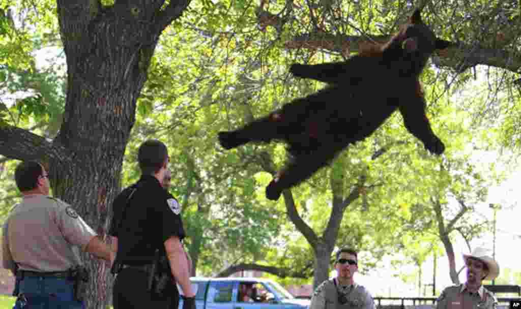 Un oso de unas 200 libras de peso, cae dormido de un árbol, luego de pasear por los dormitorios de la Universidad de Colorado en Boulder. El hecho sucedió el 26 de abril.