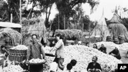 歷史照片:北京郊區四季青人民公社的男女社員收玉米。 (1959年1月20日)