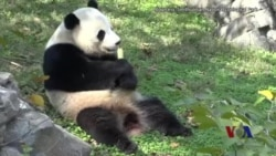 """大熊貓""""寶寶""""星期二啟程返回中國 (粵語)"""