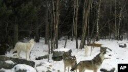 Des loups gris hurlent dans une zone d'exposition du Centre international du loup à Ely, dans le Minnesota, en février 2008. (Photo AP / John Flesher)