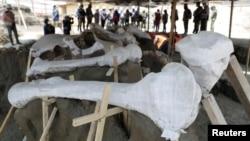 Tulang belulang mamut di lokasi penemuan 100 kerangka mamut yang sudah teridentifkasi di di lokasi pembangunan bandara baru di Zumpango, dekat Mexico City, 8 September 2020. (Foto: Henry Romero/ Reuters)