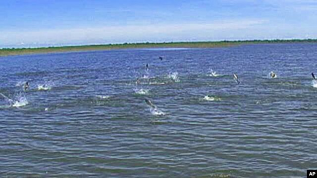 Asian Carp jumping in the Illinois River, where they are overtaking the native fish