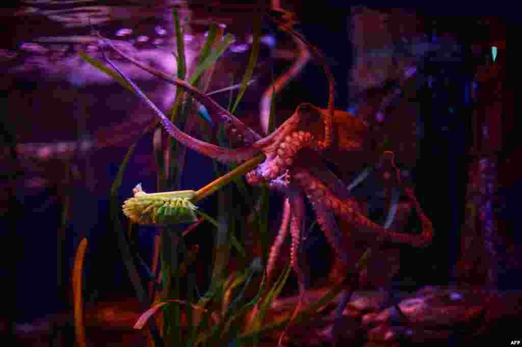 """""""Topgan topaloqniki"""". Akvarium xodimi qoldirib ketgan tozalash vositasini topib olgan sakkizoyoq. Berlin akvariumi. 4-iyun, 2020."""