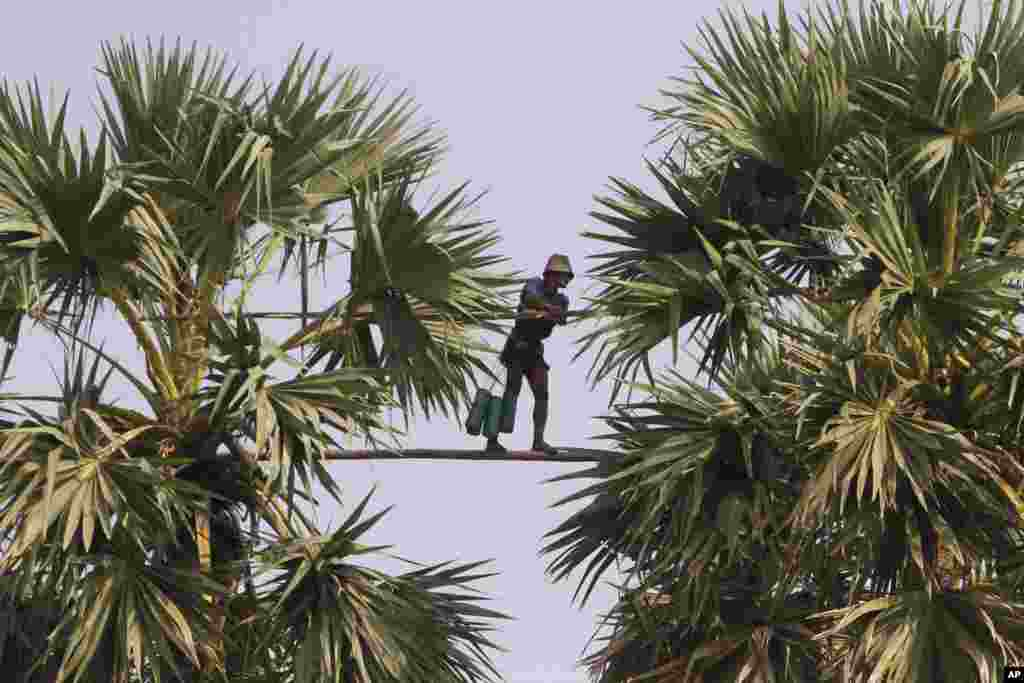 A Cambodian man walks on a 5 meters (16.5 feet) long bamboo pole spanning across two tall palm trees as he collects palm juice to make palm sugar during its harvest season in Samroang village, Kampong Chhnang province, northwst of Phnom Penh.