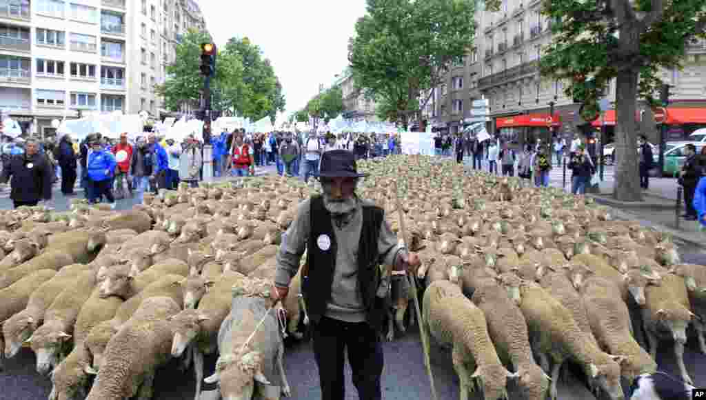 A French farmer marches with his sheep as he attends a demonstration in Paris. French farmers brought tractors and livestock to the capital as part of protests calling for the re-balancing of trade negotiations.