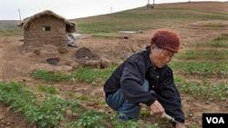 朝鲜的一位老年妇女在田里劳作