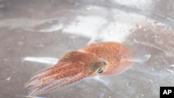 A squid is shown at a lab in Honolulu on June 11, 2021. Dozens of baby squid from Hawaii are in space for study. (Craig T. Kojima, Honolulu Star-Advertiser via AP)