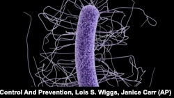 This medical illustration made available by the Centers for Disease Control and Prevention shows a Clostridium difficile bacterium.