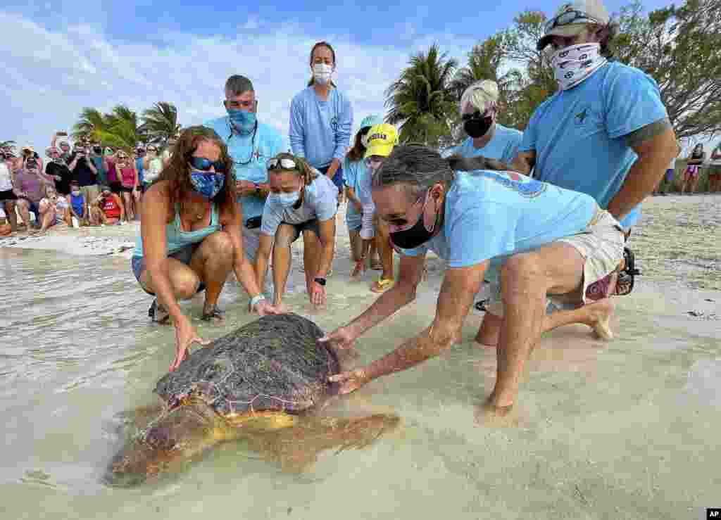 """In this photo provided by the Florida Keys News Bureau, Bette Zirkelbach, front left, and Richie Moretti, front right, manager and founder respectively of the Florida Keys-based Turtle Hospital, release """"Sparb,"""" a sub-adult loggerhead sea turtle, at Sombrero Beach in Marathon, Florida."""