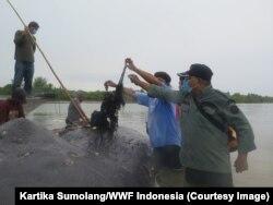 Sampah plastik berupa tali rafia paling banyak ditemukan dalam perut paus yang mati terdampar di Wakatobi, dengan berat 2,2 kg, Wakatobi, Sulawesi Tenggara, Selasa, 20 November 2018. (Foto: Kartika Sumolang/WWF Indonesia)