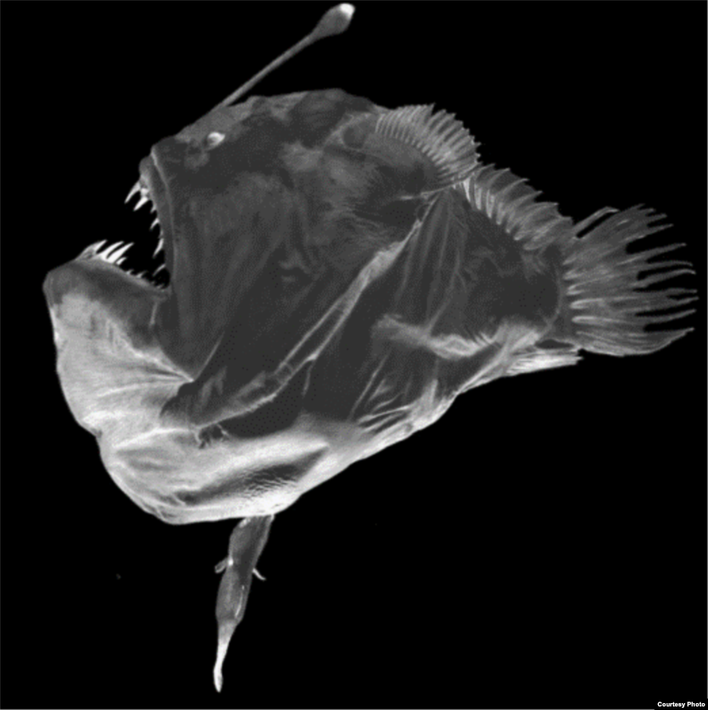 All deep sea anglerfish are female. This puzzled marine biologists for a century until they found the answer. What was originally thought to be a worm-like parasite dangling from each female was in fact the tiny male, eyeless, jawless, brainless and gutless. His only role is to fertilize her eggs. (Edith Widder)