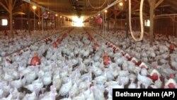 Peternakan kalkun di negara bagian Minnesota, AS (foto: dok). Lebih dari 44 juta ayam dan kalkun di AS bagian tengah mati akibat flu burung.