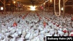 中國取消所有對美限制 允許進口所有家禽和禽肉產品