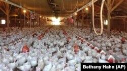 美國明尼蘇達州一個家禽養殖場