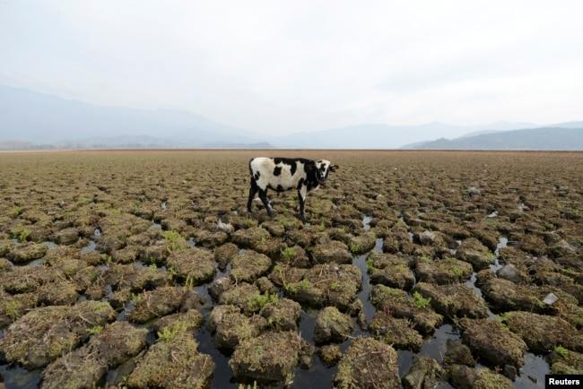 칠레 파이네 아쿨레오 석호가 오랜 가뭄으로 말라버린 가운데 갈라진 땅 위에 소가 보인다. 칠레 연안에서 몇 년간 계속된 가뭄으로 인해 지역 주민들의 생존권과 경제에 심각한 위협을 주고 있다.