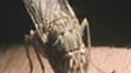 La mouche tse-tse, qui transmet la maladie du sommeil, contre laquelle un nouveau médicament a été développé