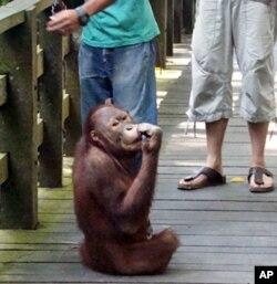 A young male orangutan in Sepilok Rehabilitation Center in Sandakan, Malaysia