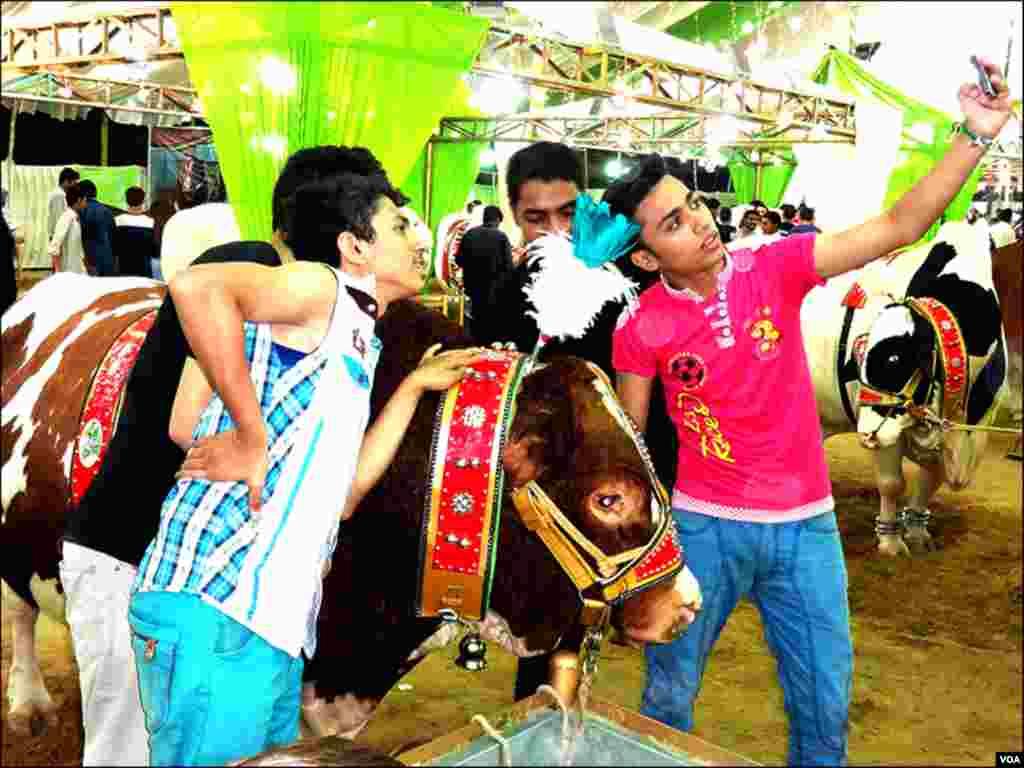 کراچی مویشی منڈی میں نوجوان خوبصورت جانوروں کےساتھ موبائل فون سے سیلفیاں بناتے ہوئے