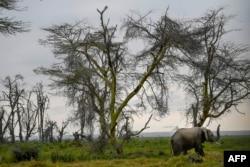 Seekor gajah jantan berjalan di sepanjang garis pohon Akasia dengan belalainya terangkat, saat ia menuju rawa terdekat pada Hari Gajah Sedunia di Taman Nasional Amboseli (365 kilometer tenggara ibu kota Nairobi) dekat Oloitiktok, wilayah timur Kajiado, 12 Agustus 2020. (TONY KARUMBA / AFP)