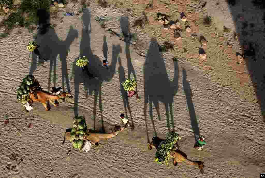 Indijci, uzgajivači lubenica, sa lubenicama na kamilama na putu ka pijaci u Allahabadu.