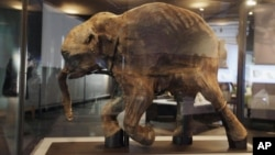 """In this photo taken Tuesday, March 2, 2010, the most complete woolly mammoth specimen ever found is seen on display at the new exhibit called """"Mammoths and Mastodons: Titans of the Ice Age"""" at The Field Museum in Chicago. (AP Photo/M. Spencer Green)"""