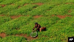 FILE- A farmer works on the outskirts of Bhubaneswar, India, Feb. 29, 2016.