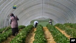 Local seasonal workers work at a strawberry field in Bottrop, Germany, Friday, April 17, 2020. Thousands of seasonal workers from Eastern Europe arrive with special flights to work in in secured groups at German farms because of the new coronavirus outbreak. Farms across Europe a
