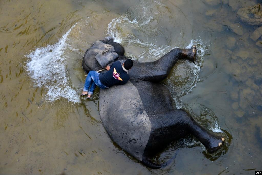 Махаут купает слона Суматры в реке в коридоре трумона для животных в районе экосистемы Leuser, южная провинция Ачех, Индонезия.