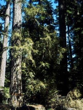 This photo of a Pacific Yew tree was taken in Mt. Hood, Oregon.