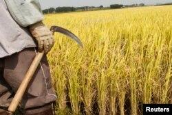 چاول کی فصل پک کر تیار ہو چکی ہے۔