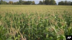 Rains Arrive, But Zimbabwe Farmers Say Seed and Fertilizer Are Lacking