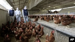 FILE - A veterinarian and two officers of NAS (Food Safety Division of Carabinieri, Italian Paramilitary Police) inspect an egg farm in Nettuno, some 30 miles south-west of Rome, Feb. 23, 2006.