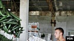 Petugas di Bucharest, Rumania membuang ribuan ketimun untuk dimusnahkan setelah peringatan wabah E. Coli (8/6).